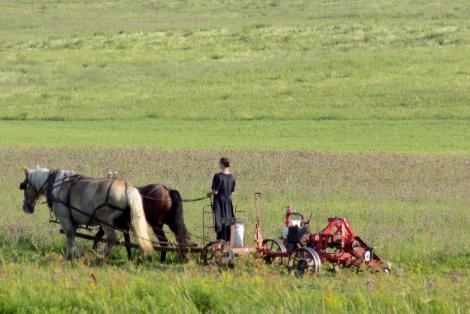 Amish Farm Woman Cutting Hay Minden NY