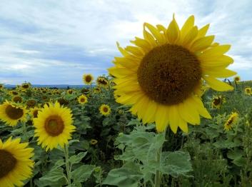 Field of Sunflowers Stone Arabia NY